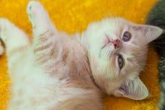 Petit chaton pelucheux Image libre de droits