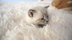 Petit chaton pelucheux sur une couverture banque de vidéos