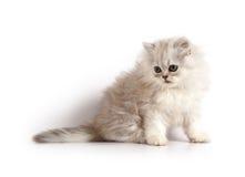 Petit chaton persan Photo stock