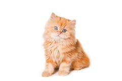 Petit chaton persan rouge Photos stock