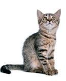 Petit chaton recherchant Image libre de droits