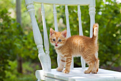 Petit chaton rouge curieux Image stock