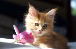 Petit chaton rouge de Maine Coon Photo libre de droits