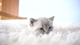 Petit chaton sur les lits pelucheux banque de vidéos