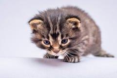 Petit chaton tranquillement adapté à attaquer Le chaton rayé est playing_ images stock