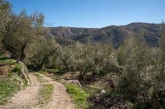 Petit chemin menant par les oliviers Photos libres de droits