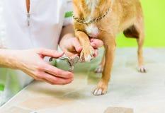 Petit chien à la manucure dans le salon de toilettage de chien Photo libre de droits