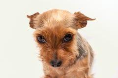 Petit chien photo libre de droits