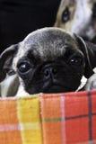 Petit chien Photo stock