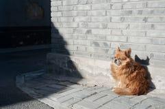 Petit chien abritant du vent sur une rue de hutong de Pékin Photographie stock libre de droits