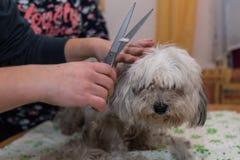 Petit chien au coiffeur de chien Images stock