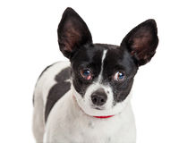 Petit chien avec Cherry Eye Photographie stock libre de droits