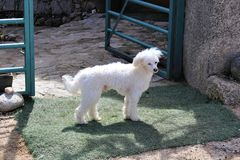 Petit chien blanc à la porte Image stock
