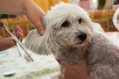 Petit chien blanc dans le toilettage d'animal familier Photographie stock