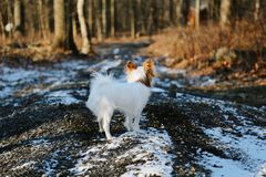 Petit chien blanc sur la route neigeuse de gravier Photographie stock libre de droits