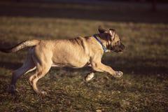 Petit chien brun couru dans l'arrière-cour Photos libres de droits