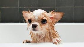 Petit chien brun mignon de chiwawa attendant dans le baquet après la prise d'a Images stock