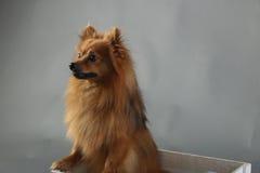 Petit chien brun pelucheux mignon Images libres de droits