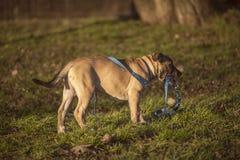 Petit chien brun se tenant sur l'herbe Image libre de droits