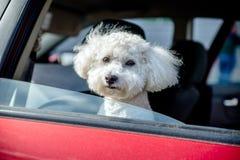 Petit chien d'appartement français Image libre de droits