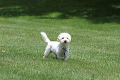 Petit chien dans la pelouse verte Images libres de droits
