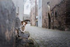 Petit chien dans la vieille ville Un animal familier dans la ville Photo stock