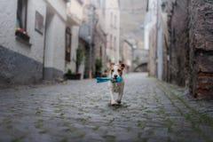 Petit chien dans la vieille ville Un animal familier dans la ville Images stock