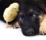 Petit chien de berger allemand mignon de poulet et de chiot Image libre de droits