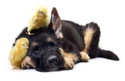 Petit chien de berger allemand mignon de poulet et de chiot Photos stock