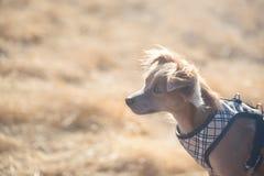 Petit chien de chiwawa maintenant la montre dans l'herbe jaune Photo libre de droits
