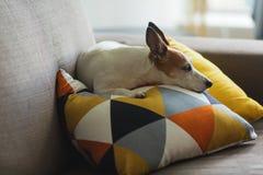 Petit chien de Jack Russell Terrier se reposant sur un oreiller avec le modèle graphique Image stock