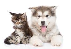 Petit chien de malamute d'Alaska avec peu de chat de ragondin du Maine ensemble Photos stock