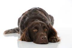 Petit chien de munsterlander sur le fond blanc Photo libre de droits