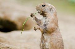Petit chien de prairie à queue noire mignon mangeant l'herbe Photo libre de droits