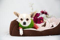 Petit chien de pure race Images libres de droits