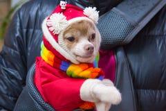 Petit chien de race de chiwawa dans un costume rouge avec des pompons blancs et une écharpe multicolore image stock