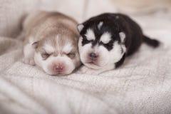 Petit chien de traîneau nouveau-né mignon se trouvant ensemble et dormant Photos libres de droits