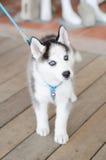 Petit chien de traîneau sibérien Photo libre de droits