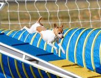 Petit chien descendant la promenade de chien Photographie stock libre de droits