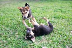 Petit chien deux noir jouant sur l'herbe Photos libres de droits