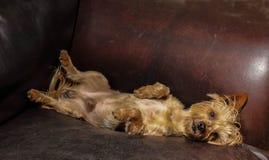 Petit chien dormant sur un divan en cuir photographie stock