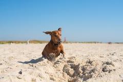 Petit chien drôle, avec des oreilles de vol Photos libres de droits