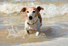 Petit chien en mer Images libres de droits