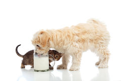 Petit chien et chaton implorant le même lait Photographie stock