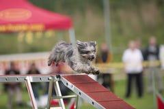 Petit chien fonctionnant en bas du pont en concurrence d'agilité Photos stock