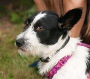 Petit chien hirsute se reposant dans l'herbe près du genou humain Photographie stock libre de droits