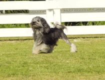 Petit chien lion. A profile view of a black, gray and white petit chien lion (little lion dog) walking on the grass. Lowchen has a long wavy coat groomed to stock photography