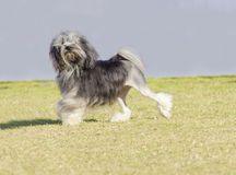 Petit chien lion. A profile view of a black, gray and white petit chien lion (little lion dog) walking on the grass. Lowchen has a long wavy coat groomed to Royalty Free Stock Photo