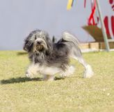 Petit chien lion. A profile view of a black, gray and white petit chien lion (little lion dog) walking on the grass. Lowchen has a long wavy coat groomed to Stock Image