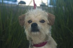 Petit chien mélangé de race de terrier blanc et bronzage photos libres de droits